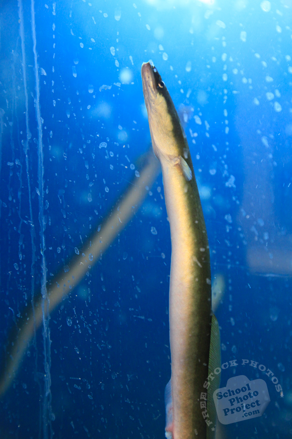 eel, seafood, fresh water fish, free stock photo, picture, free images download, stock photography, royalty-free image