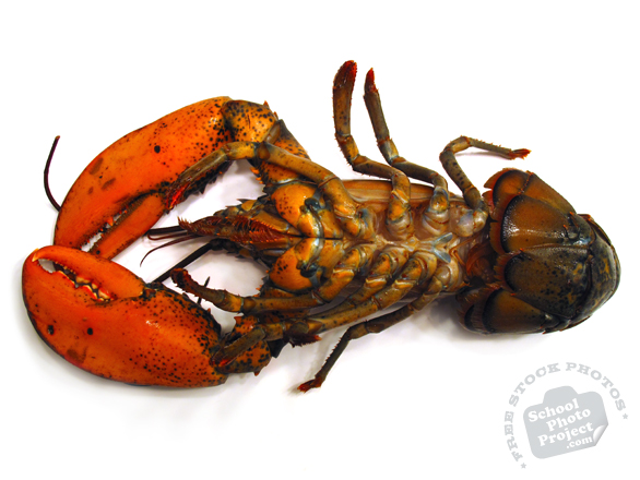 lobster, underbelly lobster, upside down lobster, seafood photo, free foto, free photo, stock photos, picture, image, free images download, stock photography, stock images, royalty-free image