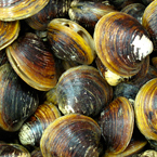 mussels, clams, seafood, free stock photo, picture, free images download, stock photography, royalty-free image