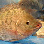 fish, tilapia, tilapia photo, seafood, animal, photo, free photo, stock photos, royalty-free image