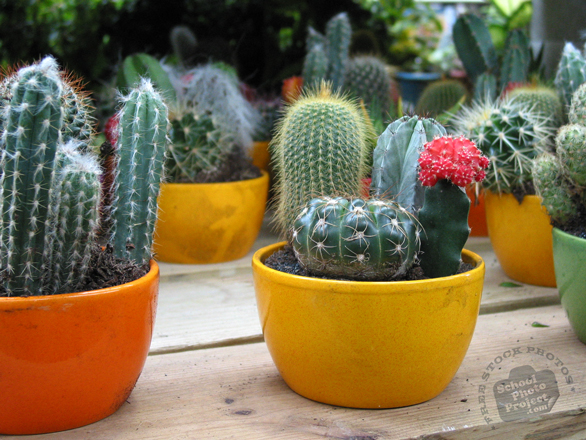 decorative cactus, cactus photo, mini cactus  plant, free stock photos, free pictures, free images download, stock photography, royalty-free image