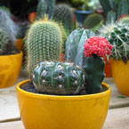 cactus picture, free stock photo, royalty-free image
