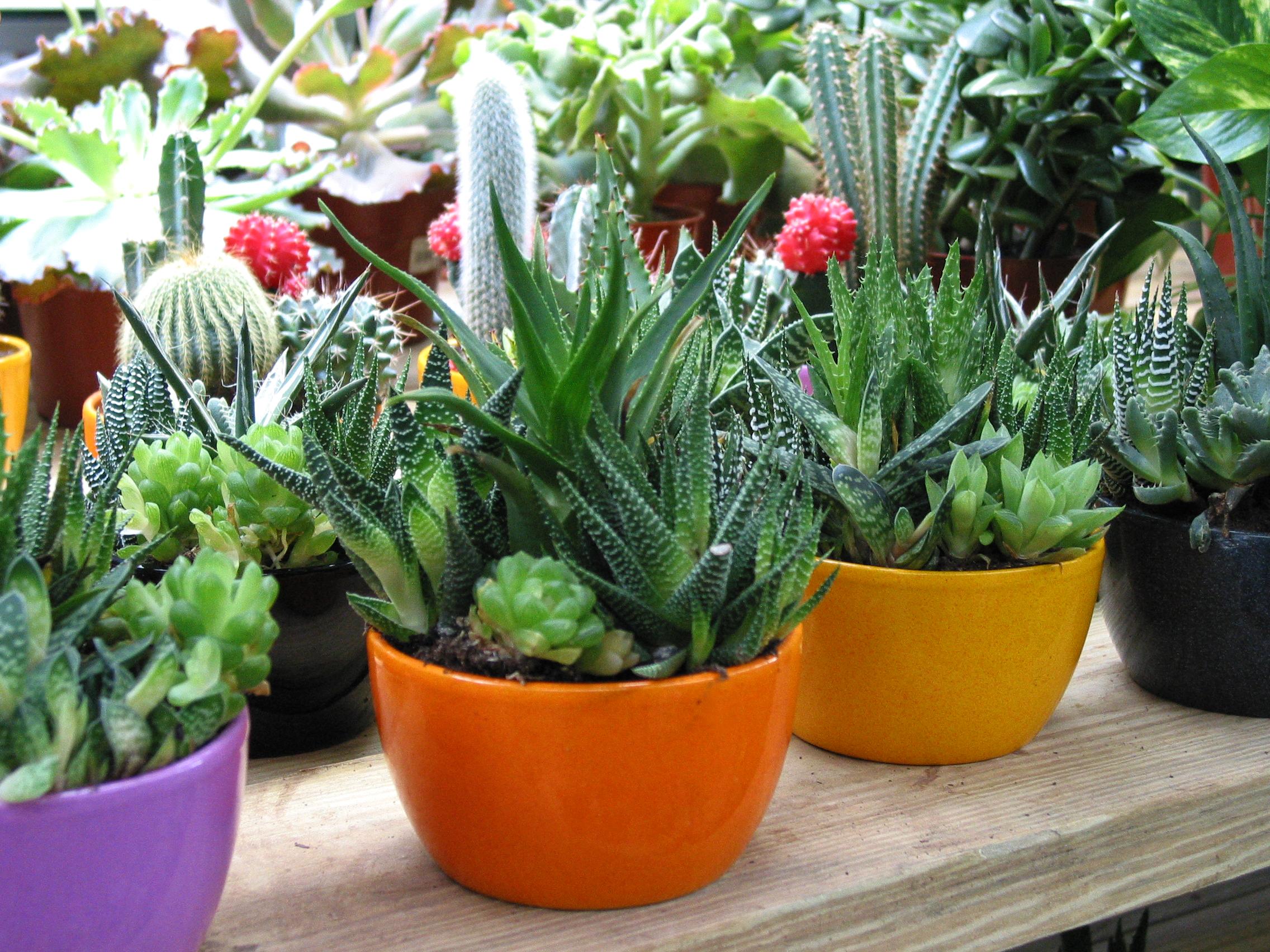 Cactus Plants Free Stock Photo Image Cactus Picture