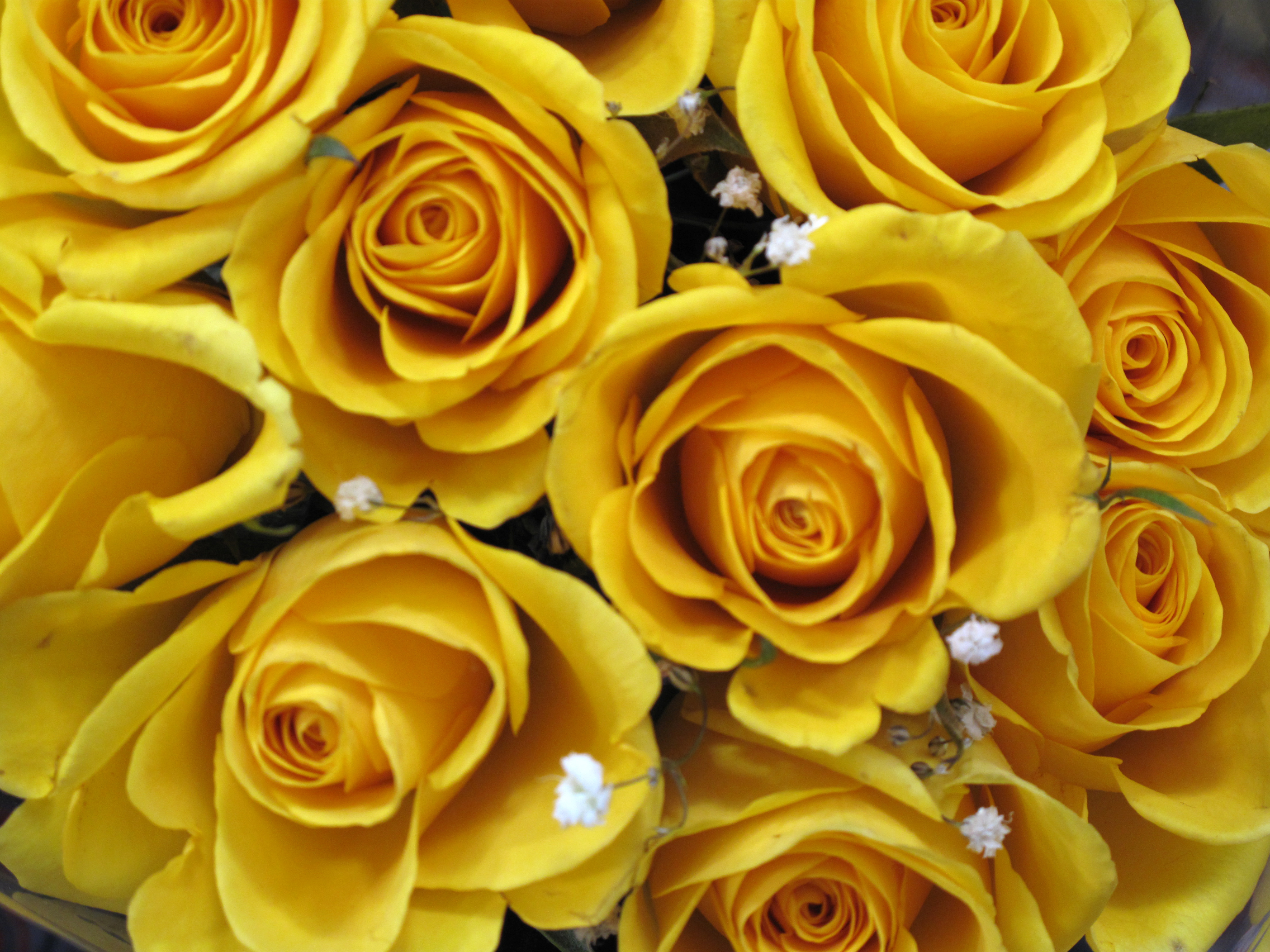 Yellow Roses Free Stock Photo Image Yellow Roses Blooms Picture