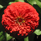 zinnia, zinnia flower, zinnia photo, zinnia picture, zinnia image, flower, blooming flowers, blooms, plant, tree, photo, free photo, stock photos, royalty-free image