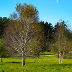 birch tree, bare trees, meadow, colorful autumn leaves, fall season foliage, panorama, nature photo, free stock photo, free picture, stock photography, royalty-free image