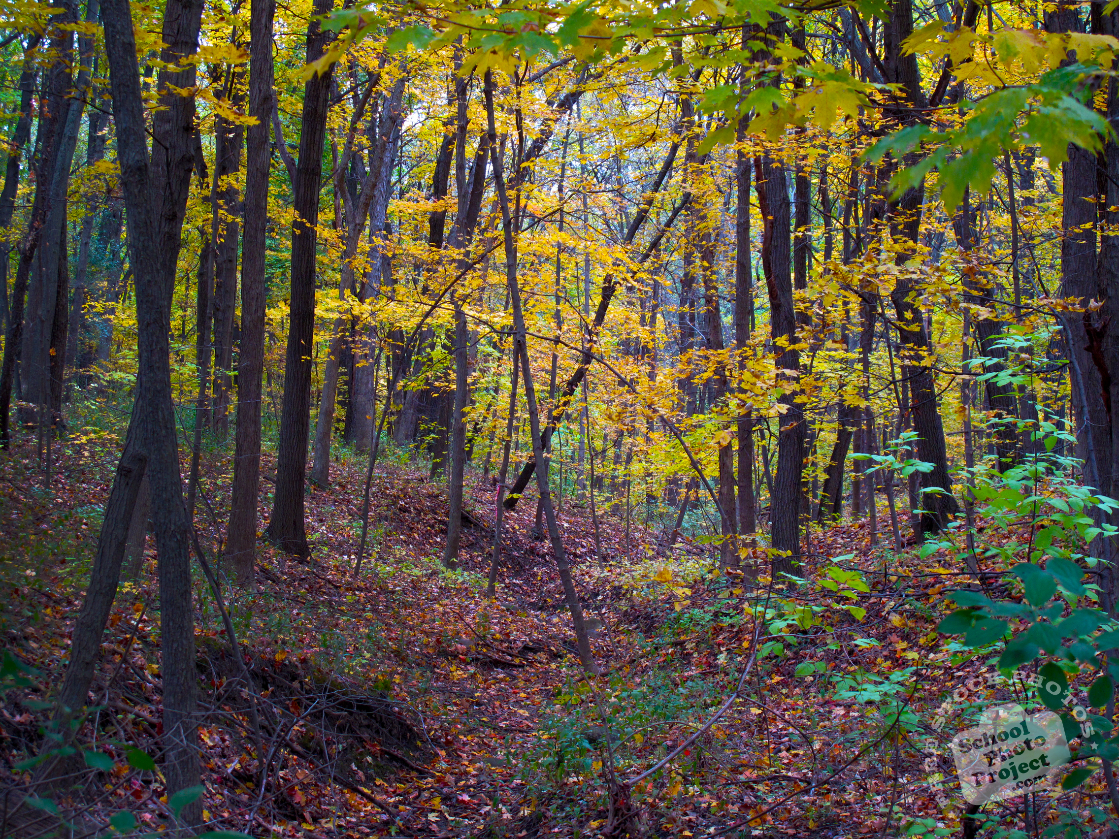 Free Maple Trees Photo Fall Foliage Picture Maple Forest