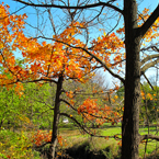 oak tree, maple, sunny sky, colorful autumn leaves, fall season foliage, panorama, nature photo, free stock photo, free picture, stock photography, royalty-free image