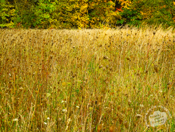 meadow, weeds, grass, oak tree, maple, colorful autumn leaves, fall season foliage, panorama, nature photo, free stock photo, free picture, stock photography, royalty-free image