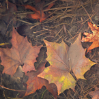 autumn leaves, dead leaf, fall season, water, nature photo, free stock photo, free picture, stock photography, royalty-free image