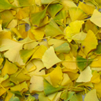 autumn leaves, dried ginkgo leaves, fall season, nature photo, free stock photo, free picture, stock photography, royalty-free image