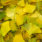 autumn leaves, yellowed ginkgo leaves, fall season, nature photo, free stock photo, free picture, stock photography, royalty-free image