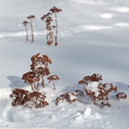 dead plants, blizzard, snowstorm, snow pile, winter season, nature photo, free stock photo, free picture, stock photography, royalty-free image