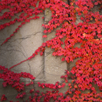 ivy, Boston ivy, vine, red leaves, wall, foliage, fall season, autumn, nature photo, free stock photo, free picture, stock photography, royalty-free image