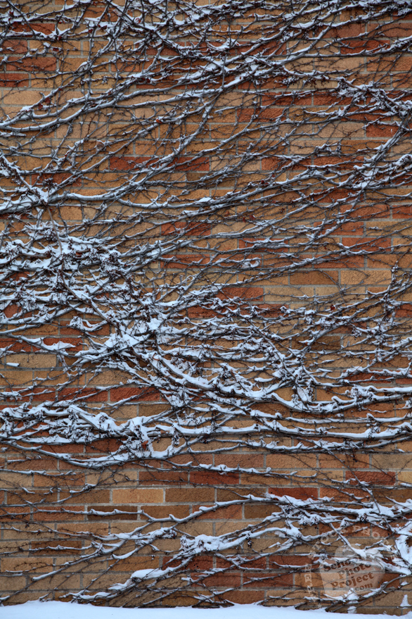 snow covered twigs, ivy vines, brick wall, blizzard, snowstorm, winter season, nature photo, free stock photo, free picture, stock photography, royalty-free image