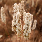 wild bushes, dried plants, cattails, typha picture, free stock photo, royalty-free image