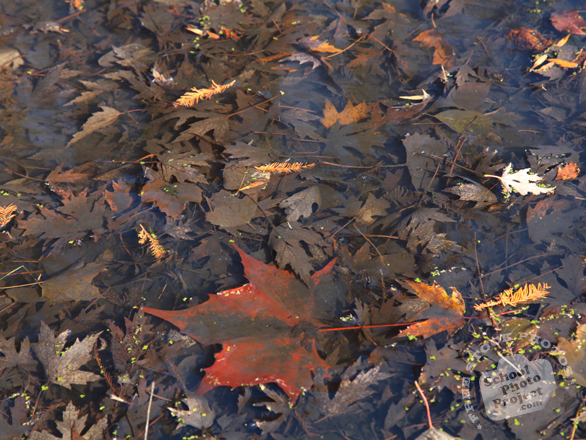 leaf, leaves, dried leaves, dead leaves, leaves texture, leaves photo, leaves picture, leaves image, fall leaves, fall season, autumn, free stock photo, free picture, stock photography, royalty-free image